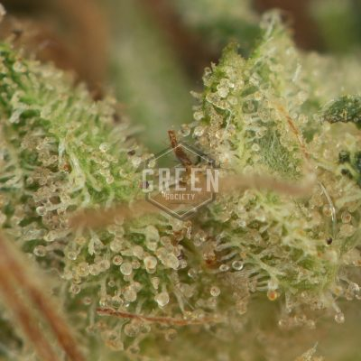 Buy Chemdawg 91 Weed Online Green Society