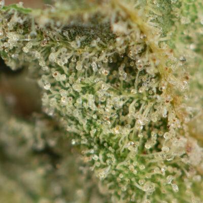 Buy Agent Orange Weed Strain Online Green Society